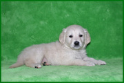 Beautiful Golden Retriever puppies for adoption to loving homes.