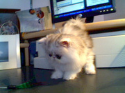 Beautiful Blue eyed PowerPoint Persian kittens Looking For Special Ho
