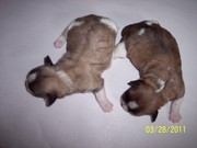 Beautiful Small Puppies For Sale