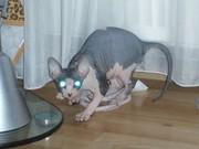 Potty trained sphinx kitten