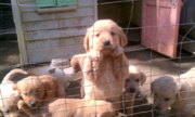 Four Female/male pup