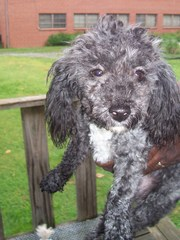 Small Female,  Toy Poodle For Rehoming