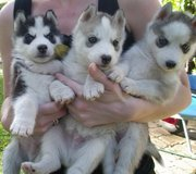 Affectionate Siberian husky puppies.Text now at (240) 54 58 287