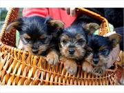 Free teacup yorkies Text Me At (508) 505-4324