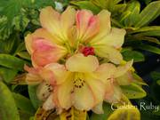 Amazing Rhododendrons delivered to your Door!