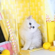 Persian Kittens for sale,  white Persian kittens for sale.